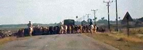 Cattle Blocking Road in Camaguey, Cuba